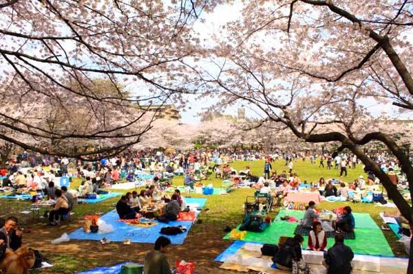 Cherry Blossom Wuhan University