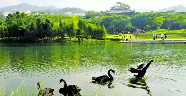 xiamen university swans
